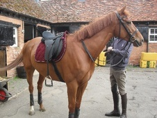 All Rounder horse - 5 yrs 1 mth 15.3 hh Chestnut - West Midlands
