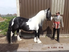 Coloured horse - 7 yrs 5 mths 15.2 hh Piebald - West Yorkshire