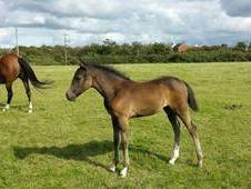 Class Buddy L X Silver Owl Filly For Sale