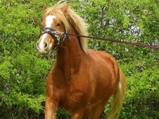 15. 2 HH Welsh Section D Gelding