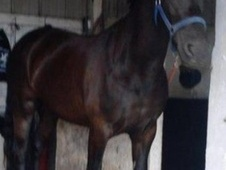 All Rounder horse - 7 yrs 14.2 hh Black - Kent