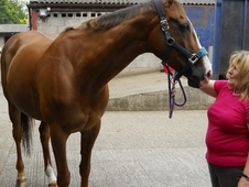 16. 2 Thoroughbred Mare