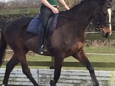 For sale 16. 2hh Ex Racer