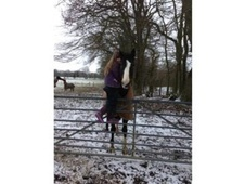 All Rounder horse - 12 yrs 16.2 hh Bay - Kent