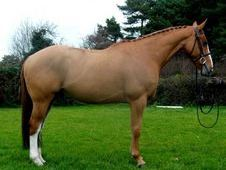 All Rounder Horse - 9 Yrs 16. 2 Hh - Kent