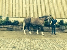 Irish Draft X Gelding 5 Years