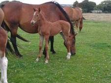Showjumping Bred Filly Foal For Sale