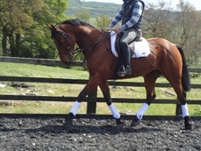 All Rounder horse - 8 yrs 16.0 hh Bay - Lancashire