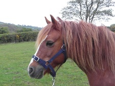 All Rounder horse - 12 yrs 13.1 hh Chestnut Roan - Dyfed