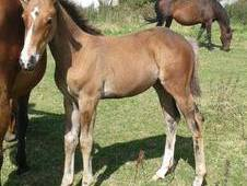 Umberto X Concorde Filly Foal For Sale