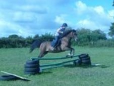 Dark Bay, Arab Welsh Cob Cross, 14. 3 hh, Gelding