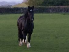 14h 6yr old light weight black cob gelding