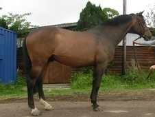 All Rounder horse - 11 yrs 16.2 hh Bay - Kent