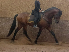 Sold-16. 3hh Quality Bay Pre (andalusian)