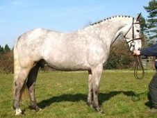 Hunters horse - 7 yrs 15.2 hh Dapple Grey - Kent