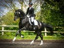Stallions at Stud horse - 8 yrs 4 mths 17.0 hh Dark Brown - Perthshire