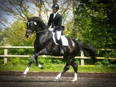 Stallions at Stud horse - 8 yrs 4 mths 17.0 hh Dark Brown - Perth...