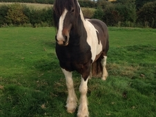 Tri Coloured Show Cob