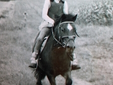 Handsome Little Chap, 9hh Bay Gelding, 8yrs Old