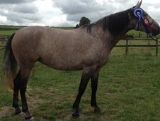 Stunning Pre Andalusian 5yr Mare