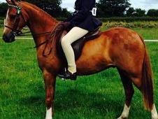 13. 2h Stunning Hoys Prospect By Willowcroft Regal Bronze