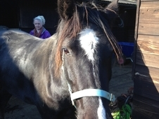 RUBY 14h2 Welsh Sec D black mare 4yrs