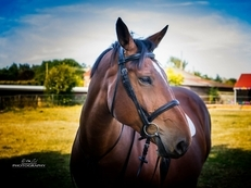 ** BEAUTIFUL BAY 17.1hh IRISH SPORTS HORSE**
