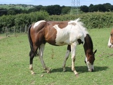Young Stock/foals 1 Mth To 4 Years Coloured/appaloosa - Cornwall
