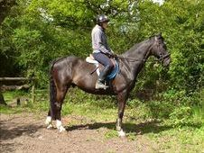 All Rounder horse - 12 yrs 16.2 hh Black - Kent