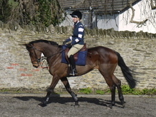 Much Loved 16. 1hh Thoroughbred Mare For Sale