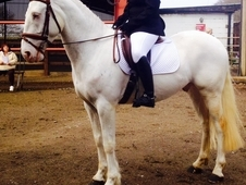 16 hh 5 yr old spotted gelding BS BE BD prospect