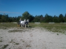 Lipizzan Horse Pair For Sale