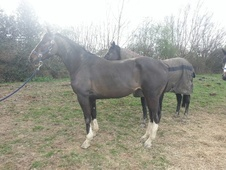 Broodmares horse - 7 yrs 16.0 hh Bay - East Sussex