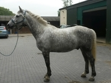 Gorgeous Grey Gelding