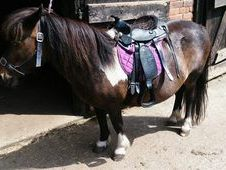 Beautiful Shetland Pony Pair For Sale