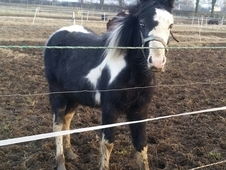 Blue and white colt 10 months £175
