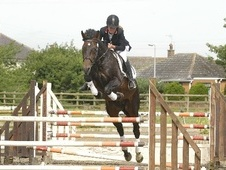 Stallions at Stud horse - 16 yrs 16.2 hh Dark Bay - County Durham
