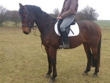All Rounder horse - 5 yrs 15.3 hh Bay - Kent