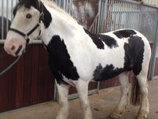All Rounder horse - 7 yrs 15.2 hh  - Laois