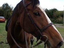 Dressage horse - 8 yrs 9 mths 15.3 hh Bright Bay - East Sussex