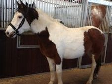 All Rounder horse - 6 yrs 15.0 hh  - Laois