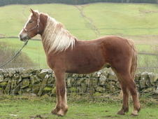 Sold Handsome Home-bred Welsh Cob Gelding