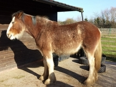 Clydesdale 22 month old filly