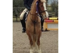 All Rounder horse - 8 yrs 14.0 hh Chestnut - Tyne And Wear