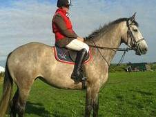 Registered Irish Sports Horse