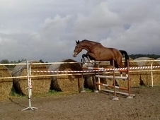 Beautiful Prepared Gelding 4 Yr