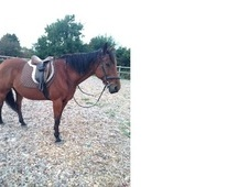 11 Year Old Handsome 15. 1 Irish Gelding