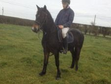 All Rounder horse - 5 yrs 14.0 hh  - Laois