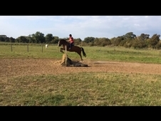 Newforest For Sale - Millersford Elmo (14. 2hh)