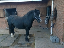 Beautiful Black Cob Mare